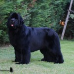 Ch. Thickish Newfoundland Xtreme Temptation